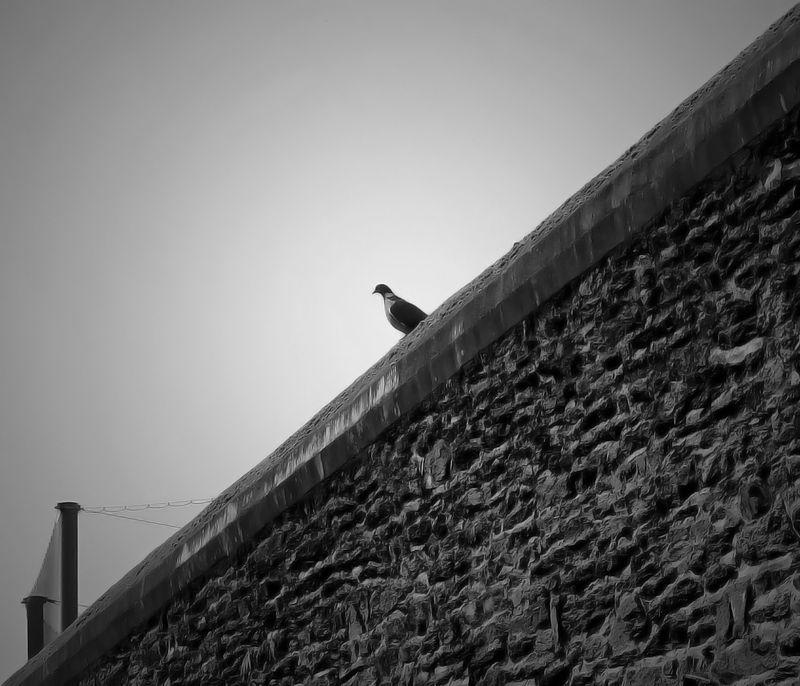 Jacques Cartier Oiseau NB