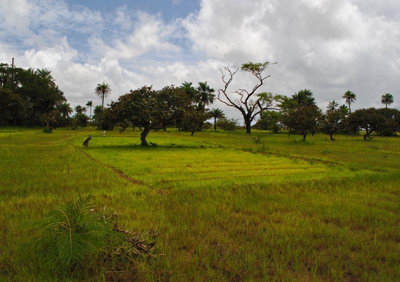 Sénégal rizière 2