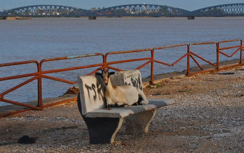 Sénégal chèvre