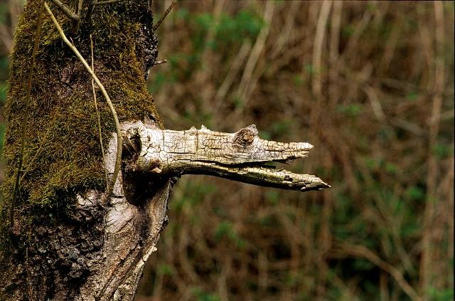 Le crocodile des forêts