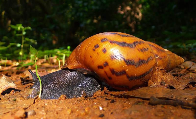 Escargot Niaouli