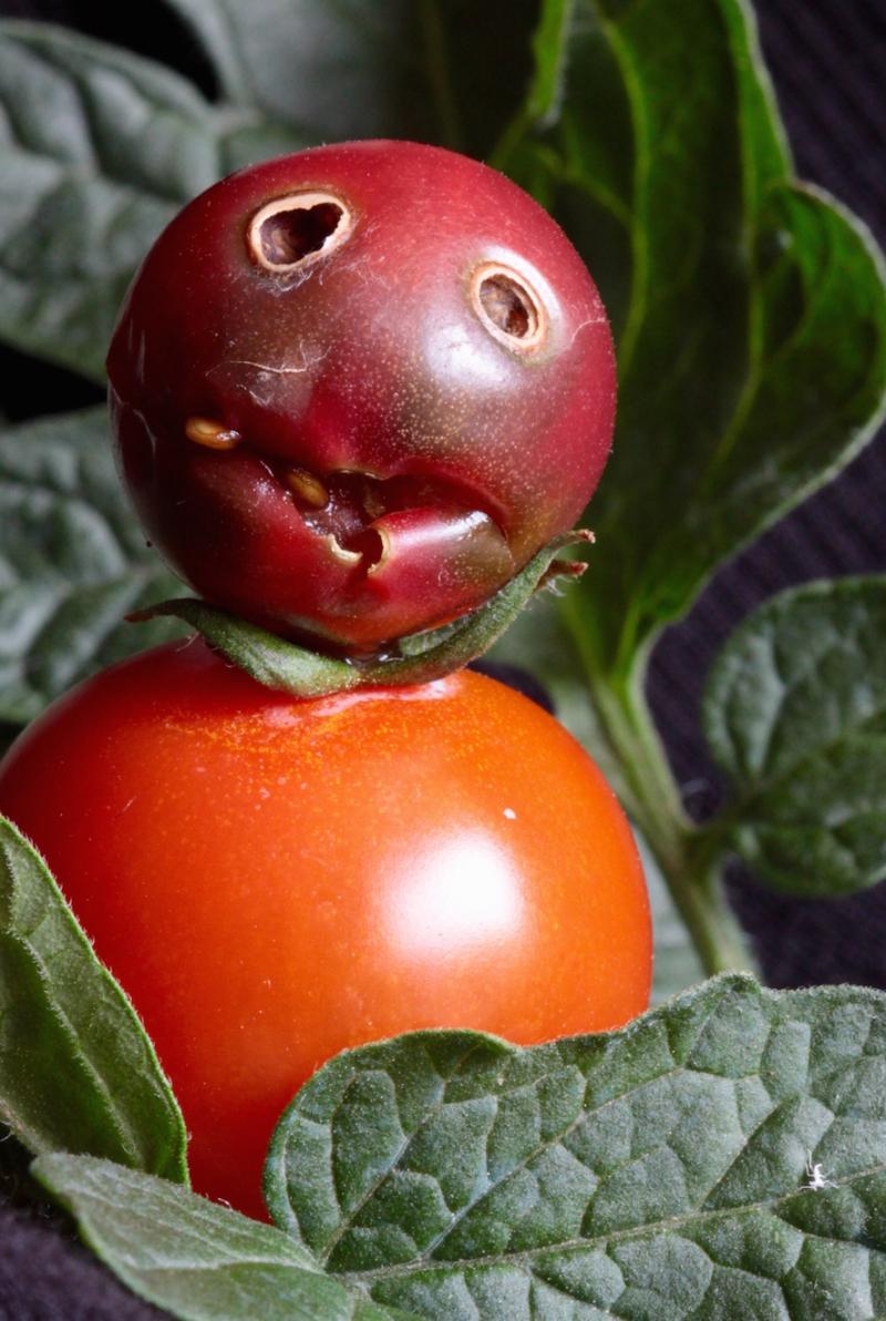 Coleo tomate